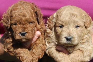 Miniature Goldendoodle Puppies | Family Friendly and Low