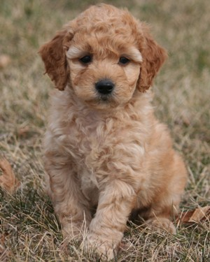 F1b Mini Goldendoodle Puppies