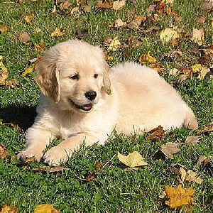 Miniature Goldendoodle Puppies Family Friendly And Low Shedding