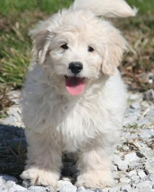 F1b Mini Goldendoodle Puppies