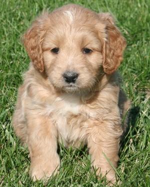 F1 miniature goldendoodle puppies Click here