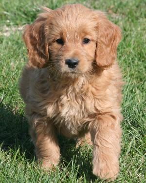 F1 Mini Goldendoodle Puppies